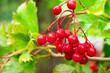 Owoc kaliny