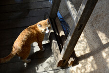 Construction Of A Residential Building. Ginger Cat Near The Stairs To The Attic In An Unfinished House.