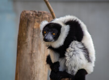 Lemur On Tree