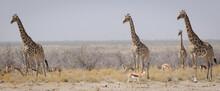 Giraffes Standing Vigilant Ver A Nearby Lion Standing Vigilant Over A Nearby Lion