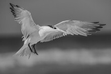 Tern In Flight, Black And White
