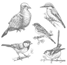 Set Of Birds Hand Drawn Illustrations, Sketches Of Pigeon, Sparrow, Kingfisher, Tit Monochrome Vector Image