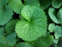 Garlic Mustard Plant - Green Leaf