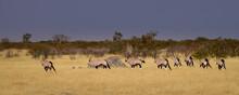 Gemsboks Leaving A Waterhole In The Dry Grass