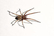 Predatory Spider Isolated On White Background. Tegenaria Agrestis. Large Representative Of The Domestic Arachnid. Fear Or Phobia Of Spiders. 8 Legs. With A Shadow. Close-up. Copy Space. Studio Photo
