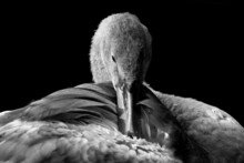 Close Up Of A Young Baby Swan Or Cygnet Isolated On A Black Background