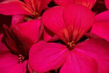 Macro Shot Of Deep Pink Flower With Polen Details