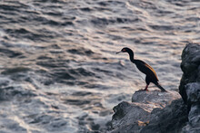 Guanay Cormorant In The Cliffs Of Punta De Choros Chile