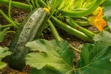 Large Zucchini On A Bush With Water Droplets. Mature Dark Green Zucchini