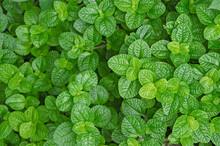Top View Of Fresh Green Leaves Of Japapnes Mint
