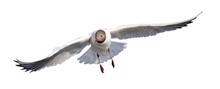 Small Black-head Seagull Fast Direct Flight