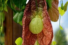 Pfeifenblume Aristolochia Gigantea