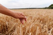 Senior Man Touching Wheat Crop On Field