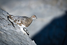 Ptarmigan In Its Natural Habitat Between Rocks