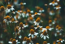 Fleurs Sauvages Dans La Campagne