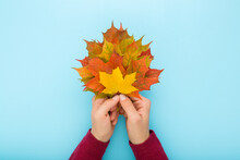 Young Adult Woman Hands Holding Fresh Orange Yellow Maple Leaves. Female Arms Ir Dark Red Sweater On Light Blue Table Background. Pastel Color. Closeup. Colorful Autumn Concept. Top Down View.