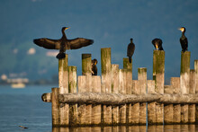 Cormorants Sit On Fence In The Water