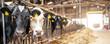 canvas print picture - Kühe in einem alten Stall