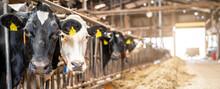 Kühe In Einem Alten Stall