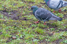 Two Pigeons On The Grass.