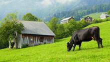 Schwarze Kuh Mit Glocke Frisst Auf Grüner Almwiese  Mit Hütten In Romantischer Alpenlandschaft