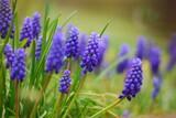 Fototapeta Kwiaty - fioletowe kwiaty w ogrodzie