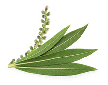 Tea Tree, Melaleuca Twig With Dried Leaves And Seeds Isolated On White Background.