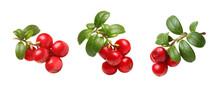 Fresh Wild Lingonberry Berries With Stem And Leaves Isolated On White Background. Set Of Red Cowberry.