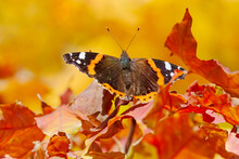 Butterfly Sitting On Dry Maple Tree Foliage