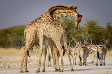 Male Giraffes Fighing