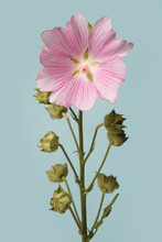Inflorescence Of Pink Mallow Flowers Isolated On Blue Background.