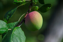 Red-green Apples And Green Leaves In The Garden