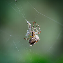 Fat Spider Has Just Caught Its Prey In A Spider Web