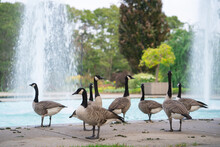 Lots Of Canada Geese Spending Time In Toronto Island Ontario Canada