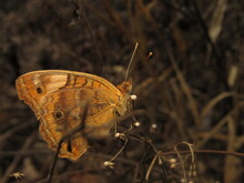 Junonia Evarete, Known As Tropical Buckeye, Is A South American Butterfly Of The Nymphalids Family (Nymphalidae)