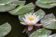 canvas print picture - Weisse Seerosen (Nymphaea alba)