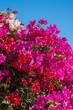 canvas print picture - Bougainvillea vor blauen Himmel