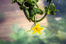 Small Cucumber With Flower And Tendrils