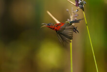 Nature Wildlife Image Of Beautiful Sunbird On A Branch On Nature Background Form Thailand