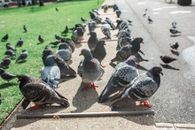 Group Of Pigeons In The Adelaide, CBD