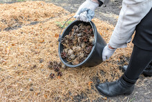 A Gardener Pours Pine Cones Out Of A Bucket On A Garden Bed. Seasonal Agricultural Work.