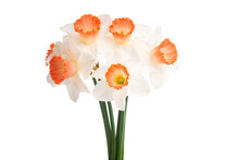 Bouquet Daffodil Isolated