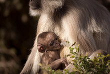 Wildlife Photograph Of A Young Toddler Monkey Sucking Milk From Mother