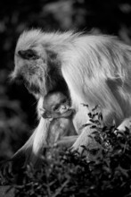 Black And White Wildlife Photograph Of A Young Toddler Monkey Breastfeeding