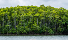 Daintree River, Queensland, Australia. River With Tall Green Trees And Mangroves And Grey Sky.