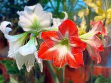 Amaryllis Red White Flowers. Beautiful Flowering Plant Amaryllis. Amaryllidaceae.