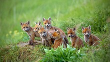 Red Fox Vulpes Cubs Sitting By The Den