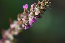 Apanese Basil (Shiso Herb) Flowers. Lamiaceae Annual Aromatic Herb.