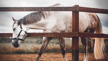 A Beautiful Gray Horse With A Long Tail And A Halter On Its Muzzle, Which Is Grazing Next To A Wooden Fence In A Paddock On A Cloudy Day At The Farm. Livestock. Equestrian Life.