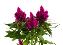 Celosia Deep Purple Isolated On White Background